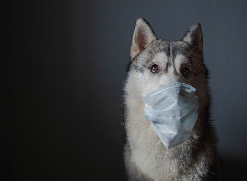 Husky with a dust mask